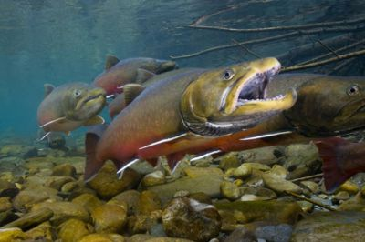 The Bull trout