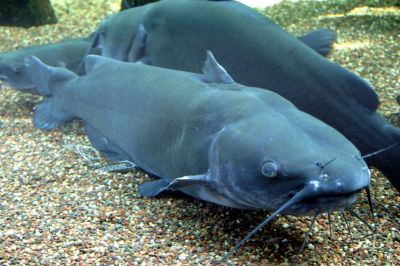 The Channel Catfish