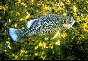 The Comanche springs pupfish